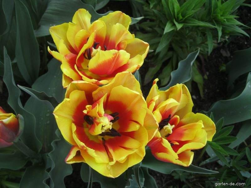 Tulpe - Tulipa Double Focus