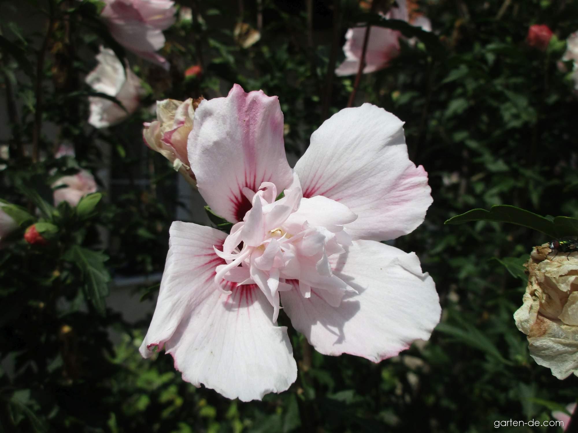 Straucheibisch - Hibiscus syriacus Lady Stanley
