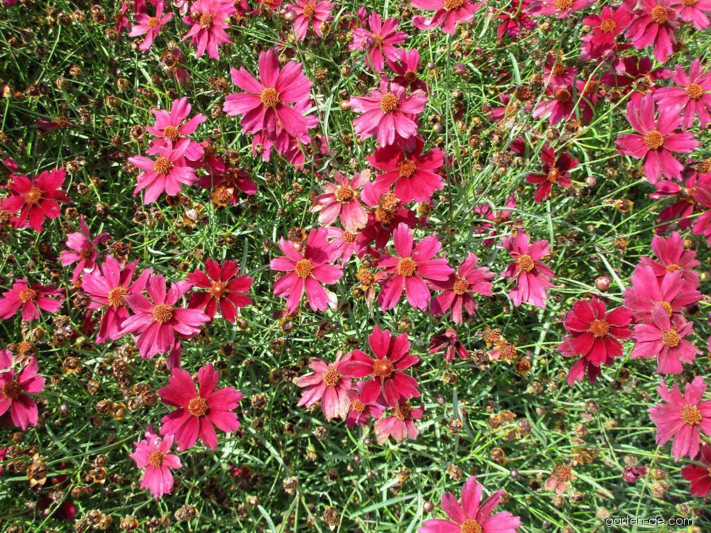 Krásnoočko růžové Bloomsation Dragon (Coreopsis rosea)