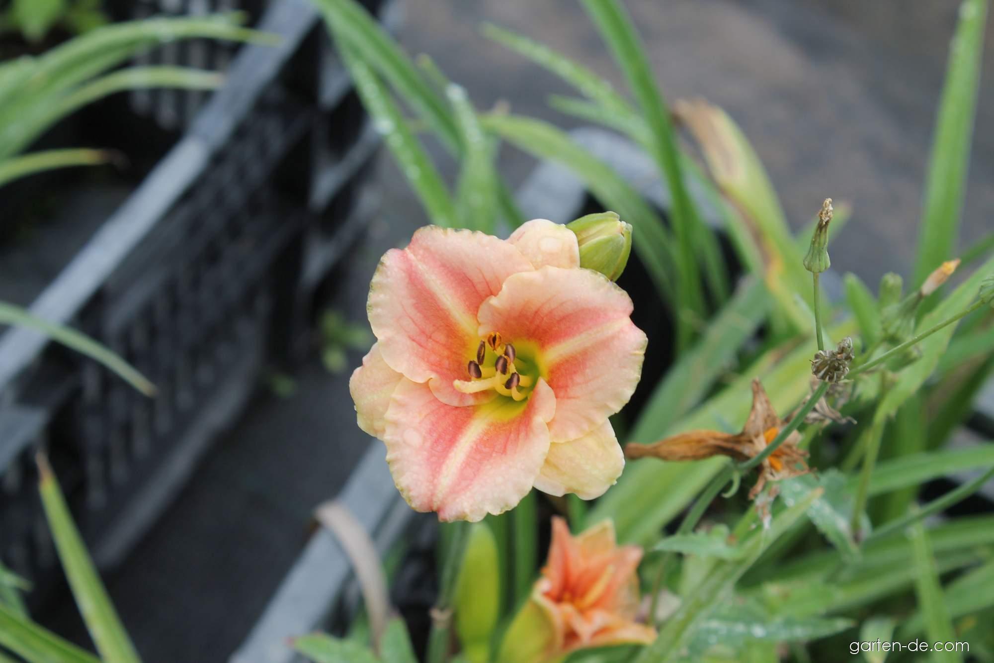 Taglilie - Hemerocallis Little Anna Rosa