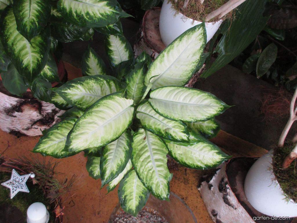 Difenbachie pestrá Camilla (Dieffenbachia seguine)