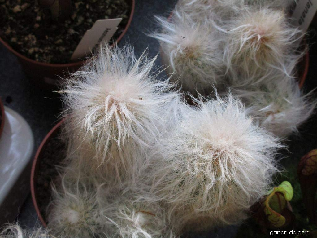 Espostoa (Espostoa lanata)
