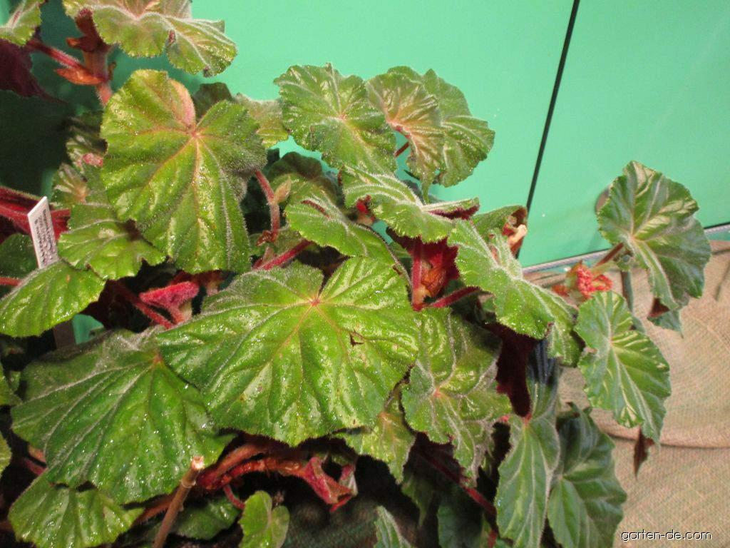 Begónie (Begonia x credneri)