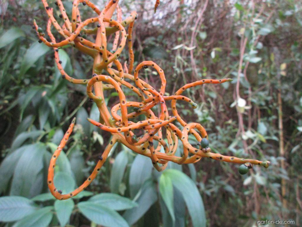Chamaedorea (Chamaedorea schiedeana)