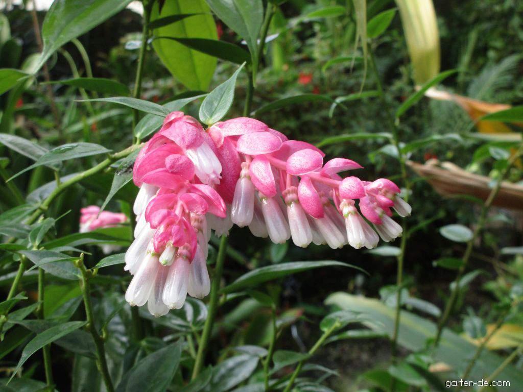 Cavendishie (Cavendishia callista)