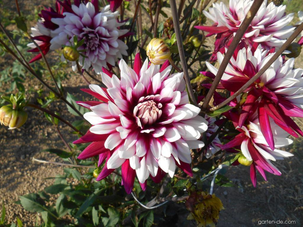 Garten-Dahlie - Dahlia Rebeccas World
