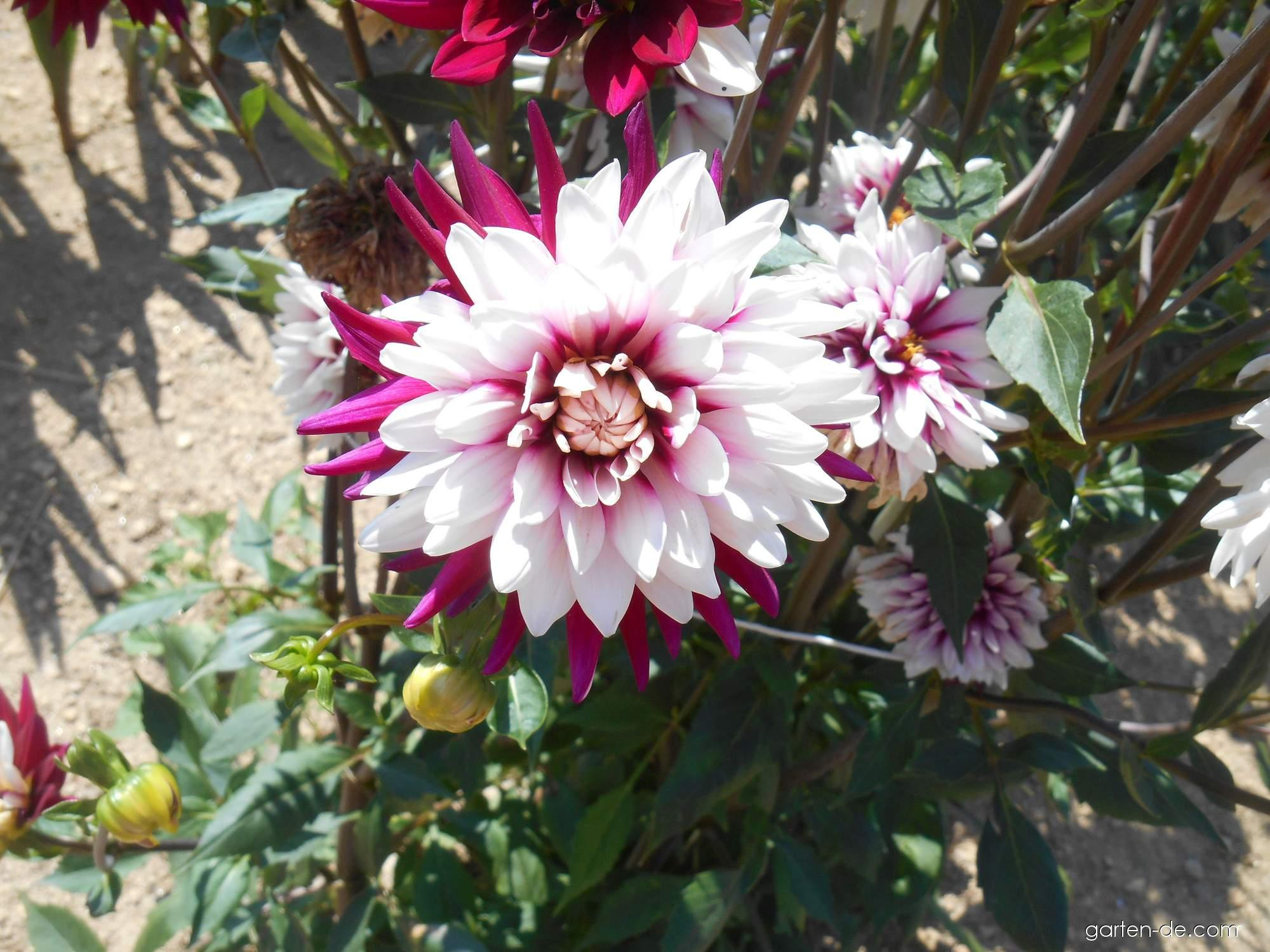 Dahlia Rebeccas World (Garten-Dahlie)