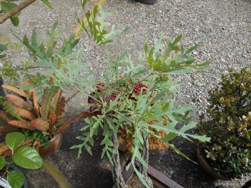 Cussonie (Cussonia paniculata)
