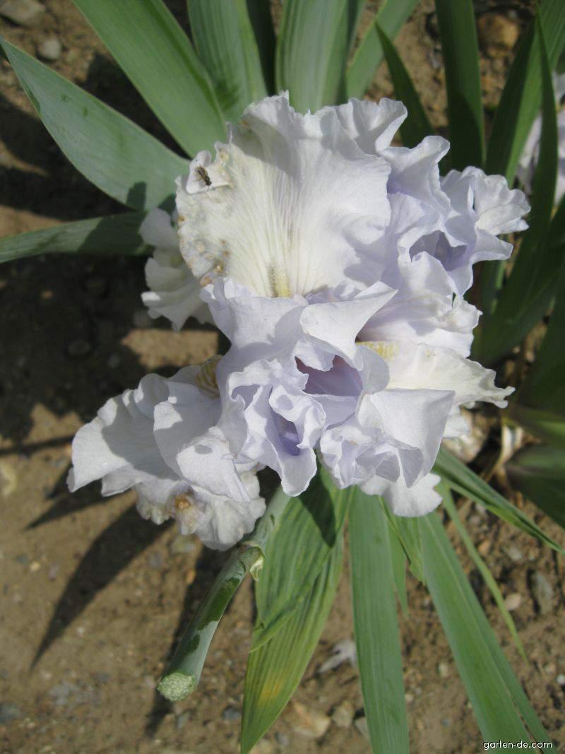 Kosatec bradatý (Iris barbata elatior)