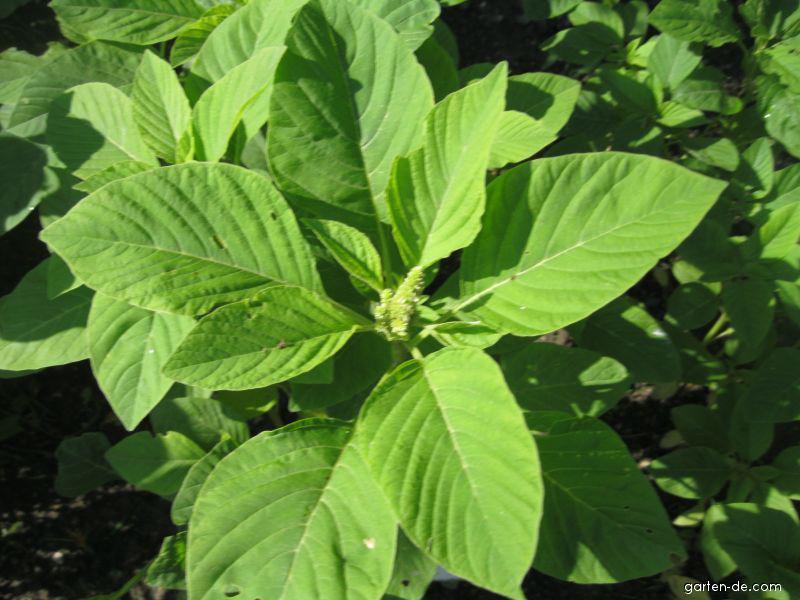 Garten-Fuchsschwanz - Amaranthus caudatus