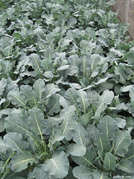 Brokolice (Brassica oleracea convar botrytis var italica)