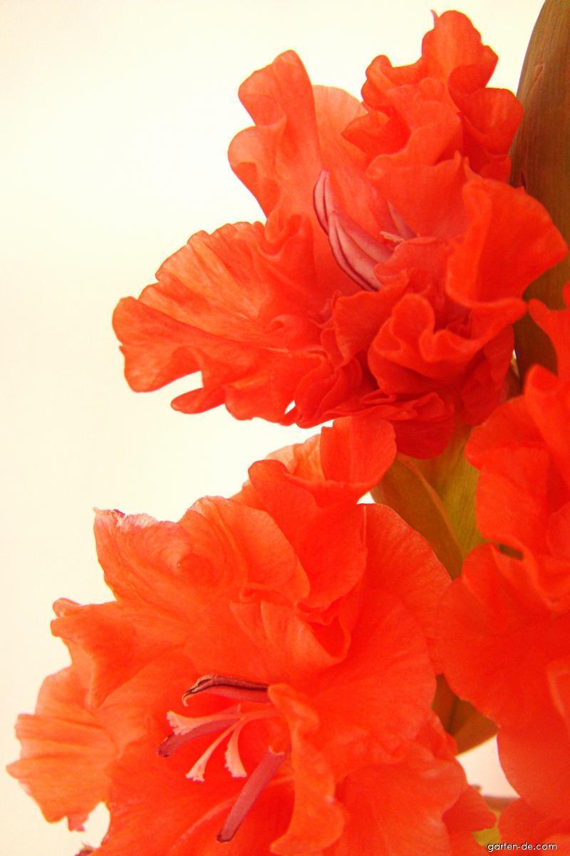 Mečík šlechtěný Krásná perlička (Gladiolus)
