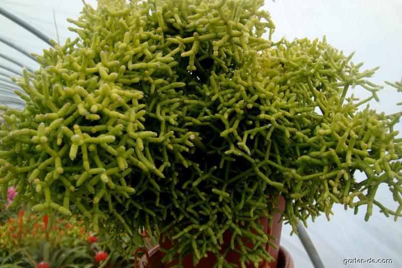 Ripsális (Rhipsalis cassutha)