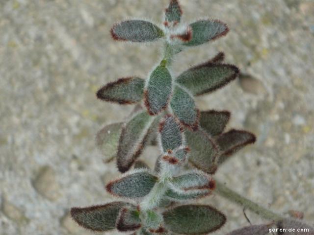 Kolopějka (Kalanchoe tomentosa)