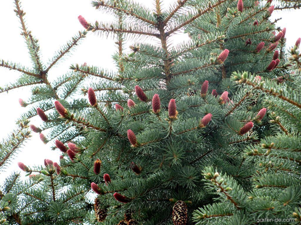 Smrk pichlavý,stříbrný - Glauca (Picea pungens)