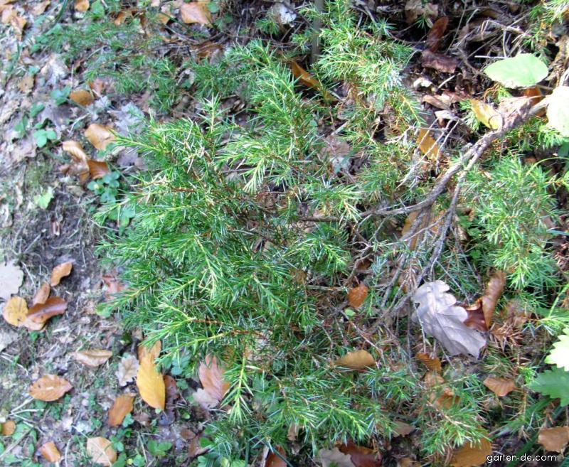 Jalovec obecný (Juniperus communis subsp Alpina)