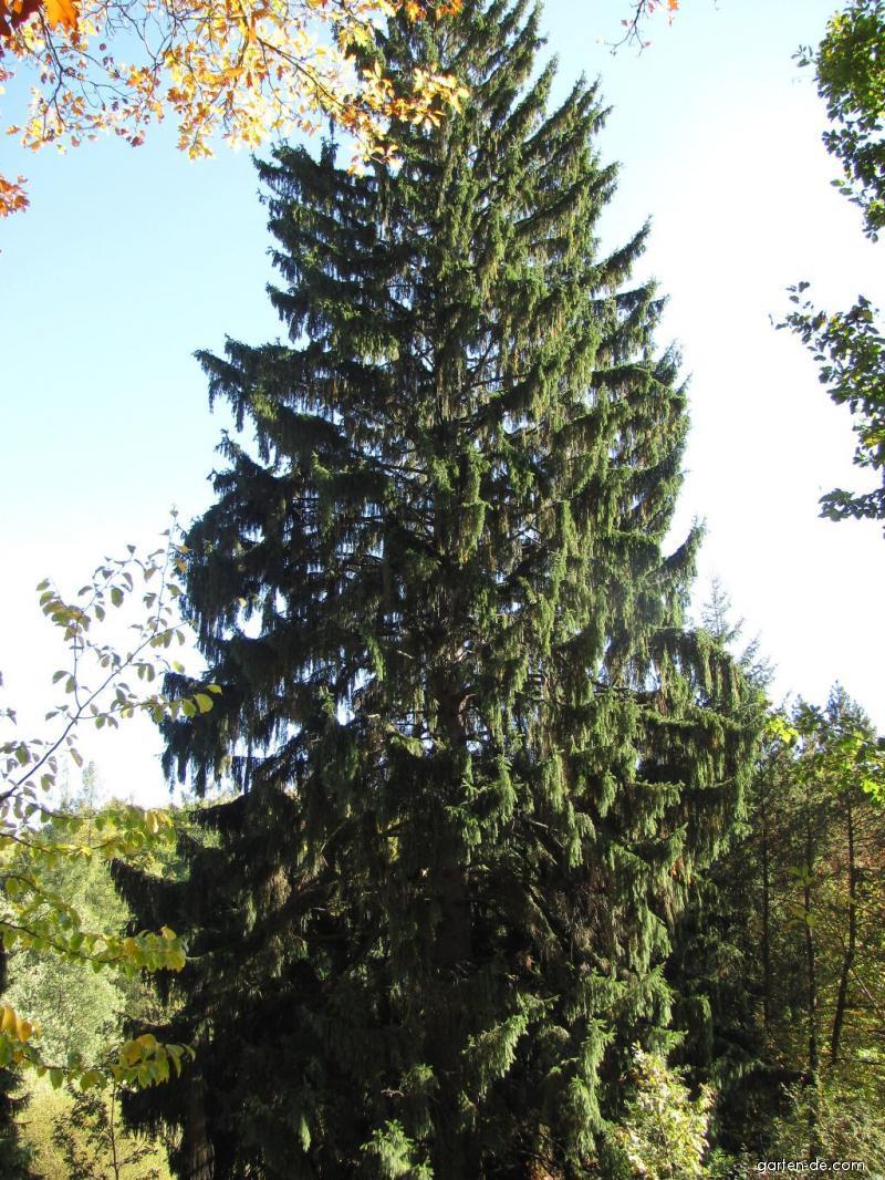 Arboretum Křtiny - jehličnan, z koukání na velikány bolelo i za krkem