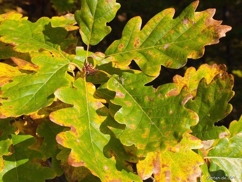 Photos Stiel Eiche Blatter Herbst Garten De Com