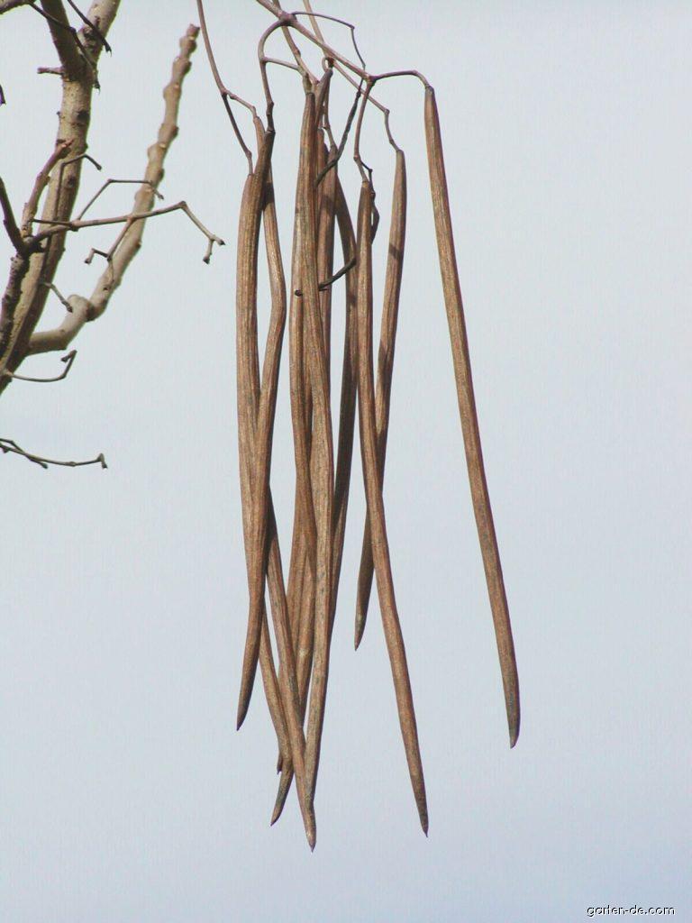 Gewöhnlicher Trompetenbaum - Catalpa bignonioides