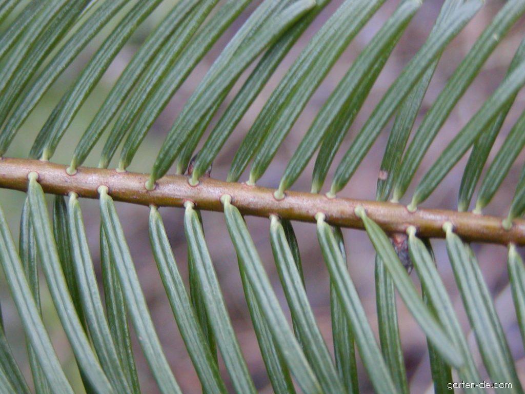 Grosse Küstentanne - Abies grandis