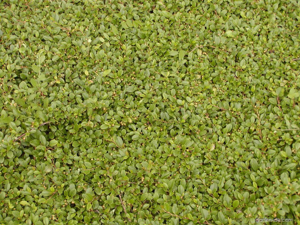 TeppichZwergmispel  Cotoneaster dammeri  Gartendecom