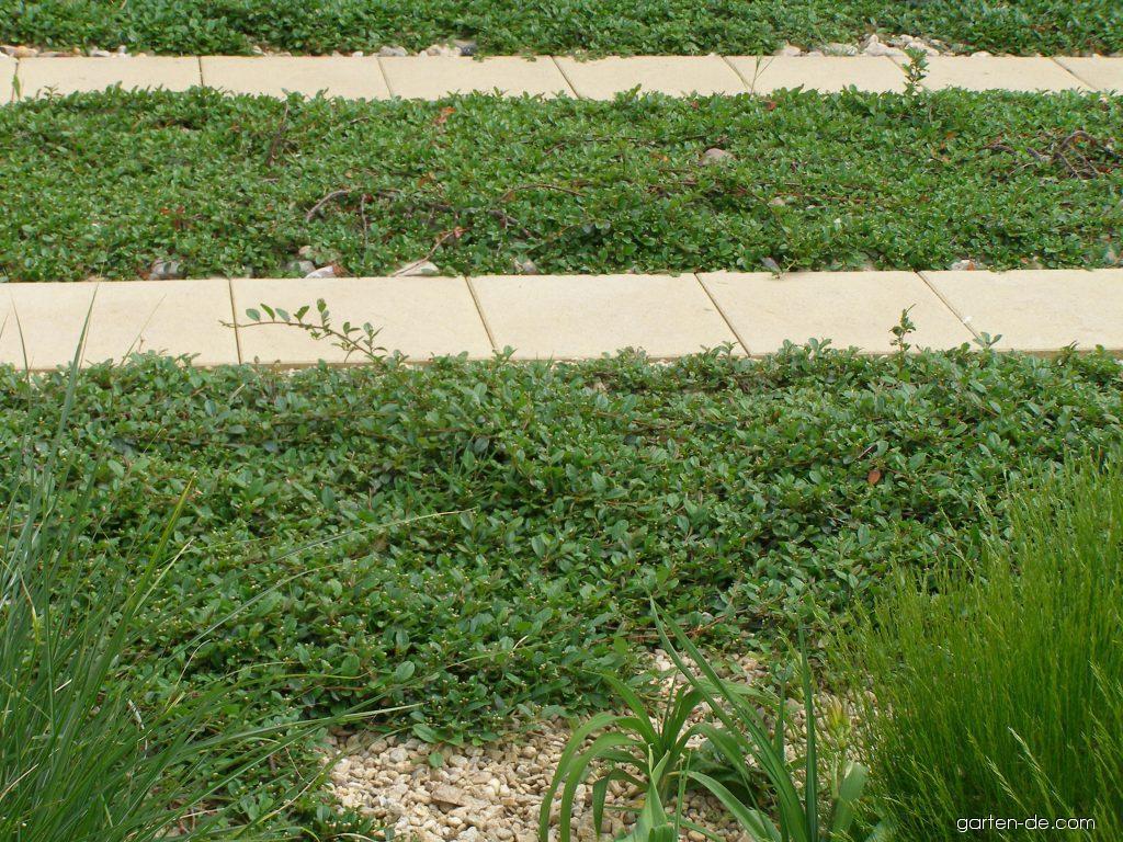 Photos teppich zwergmispel pflanze garten for Garten forum