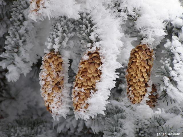 Stech-Fichte - Picea pungens