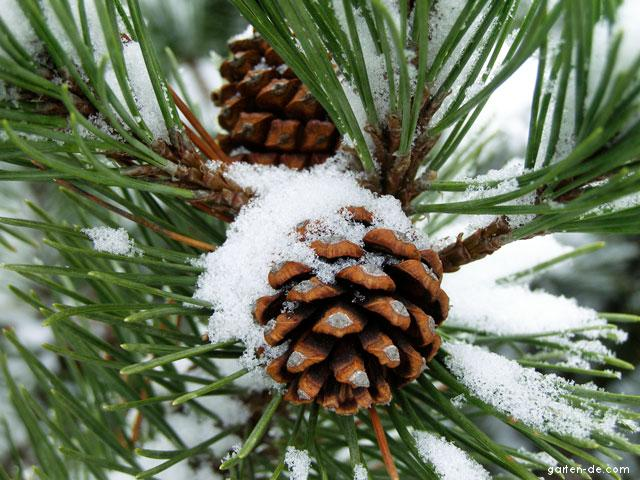 Borovice kleč - šišky v zimě (Pinus mugo)