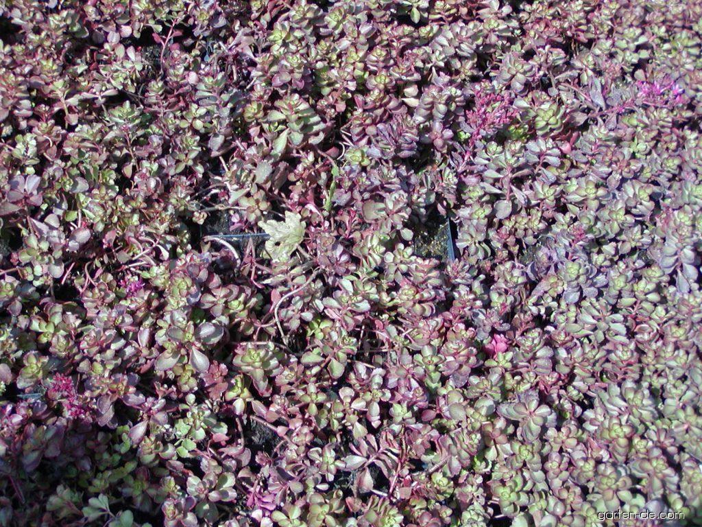 Teppich Fetthenne  Sedum spurium Purpurteppich  Garten