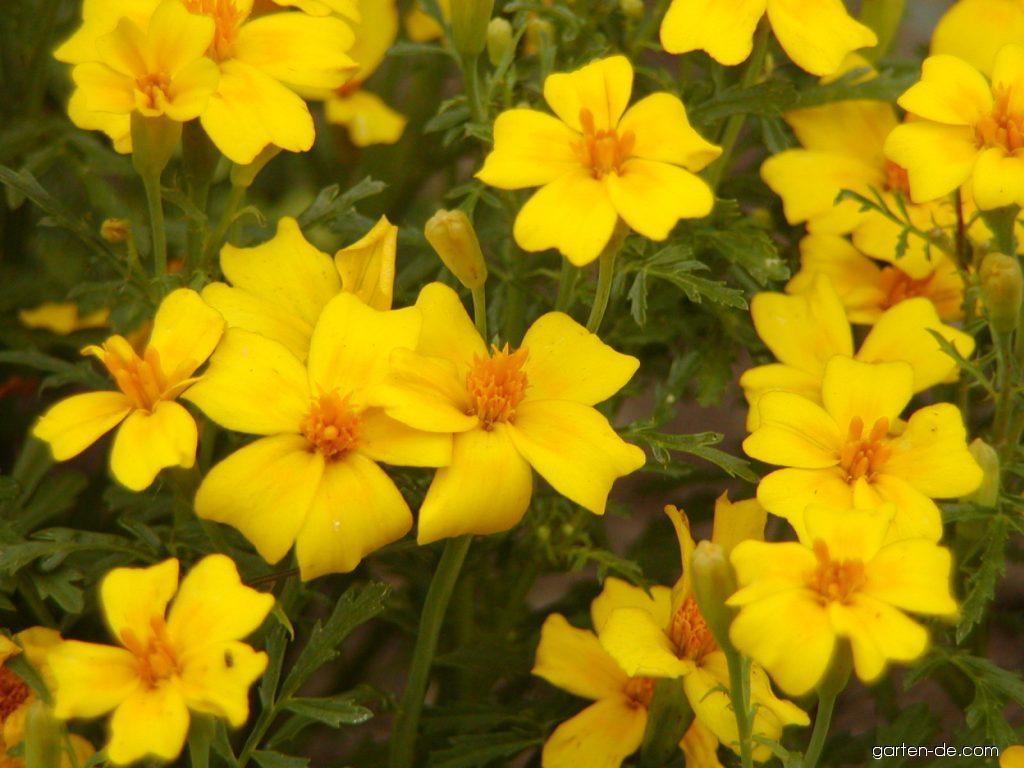 Studentenblume - Tagetes tenuifolia