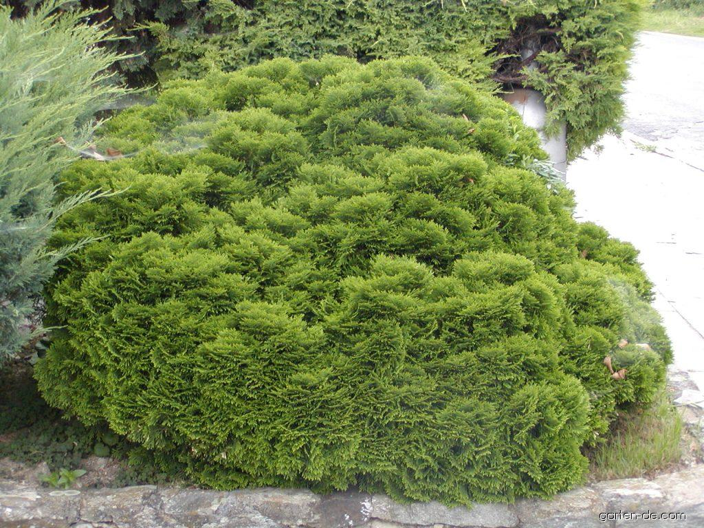 Scheinzypresse - Chamaecyparis obtusa Nana Gracilis
