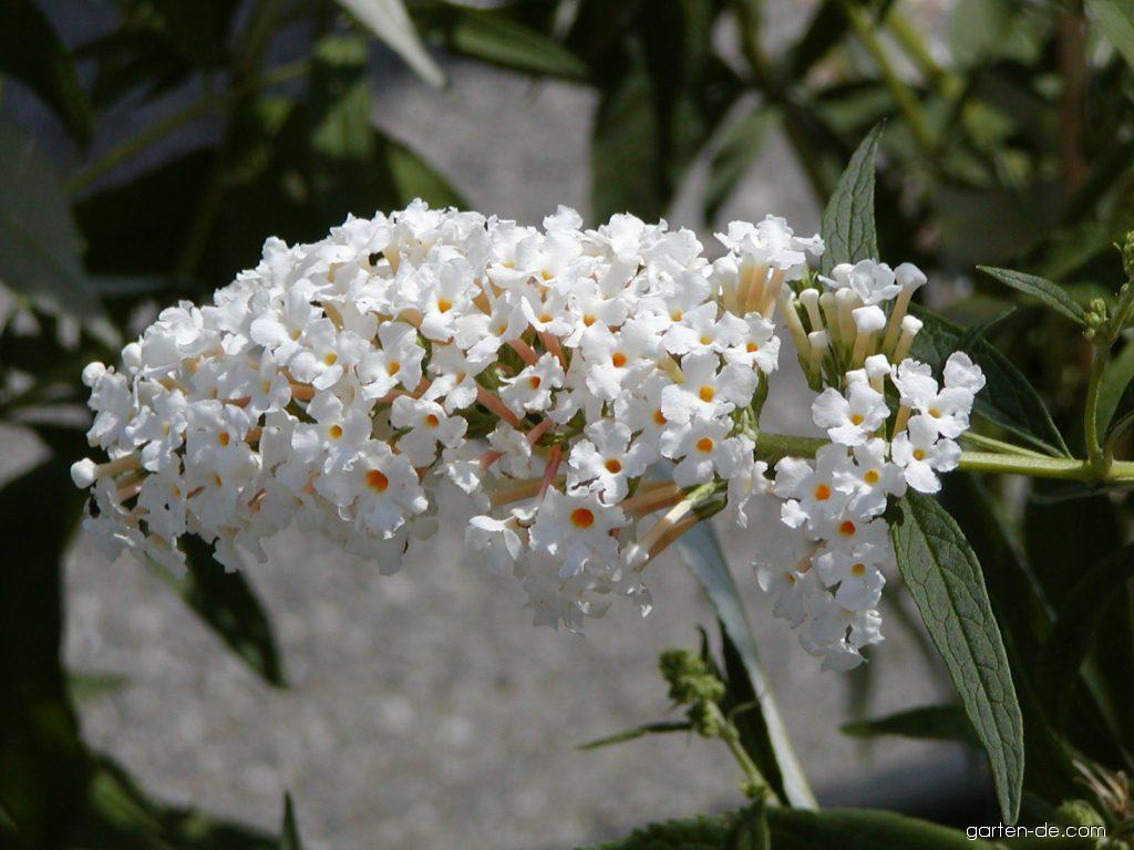 Sommerflieder Buddleia Davidii White Profusion Garten