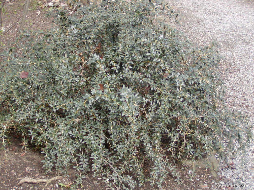 Warzen-Berberitze - Berberis verruculosa