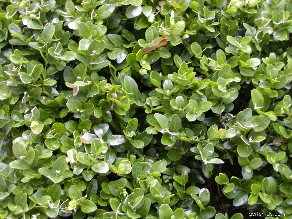photos gemeiner buchsbaum suffruticosa bl tter garten. Black Bedroom Furniture Sets. Home Design Ideas