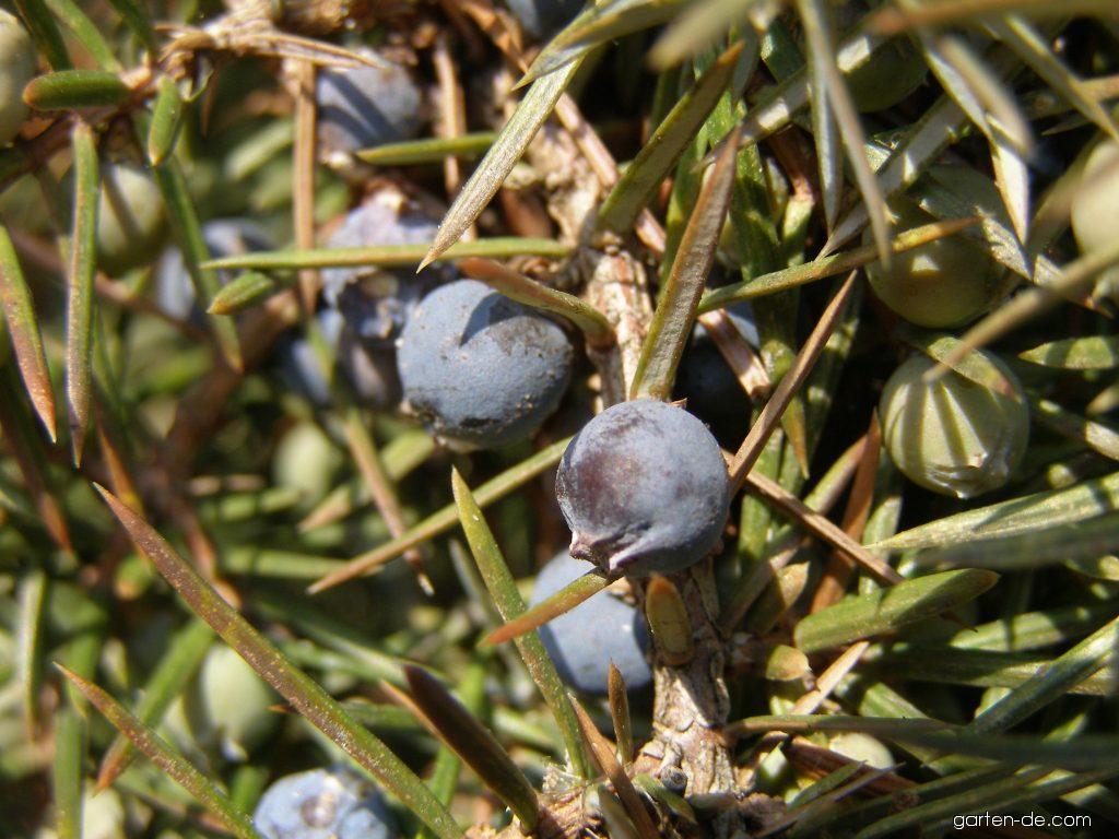 Gemeine Wacholder - Juniperus communis