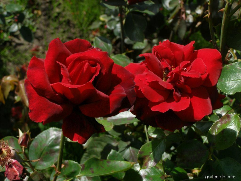 Rose - Rosa Le Rouge et Le Noir