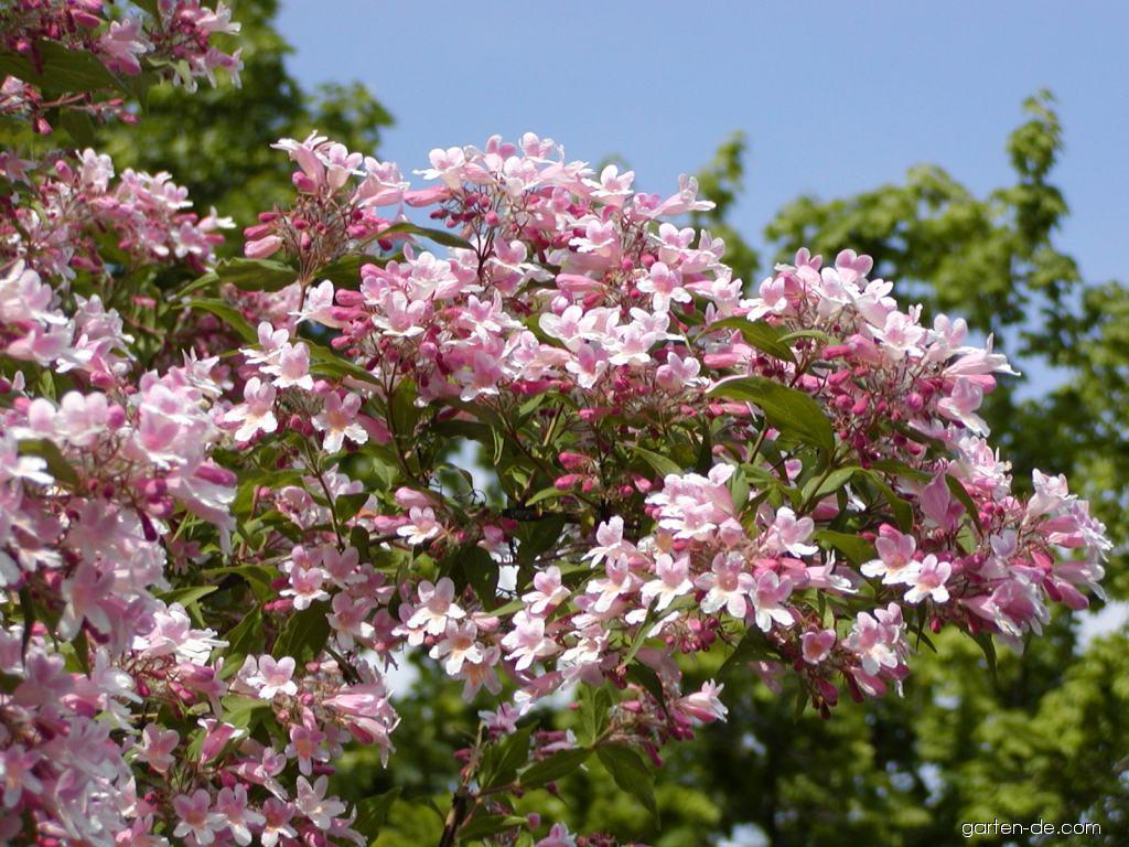 Kolkwitzie - Kolkwitzia amabilis