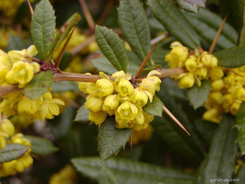 Berberitze - Berberis julianae