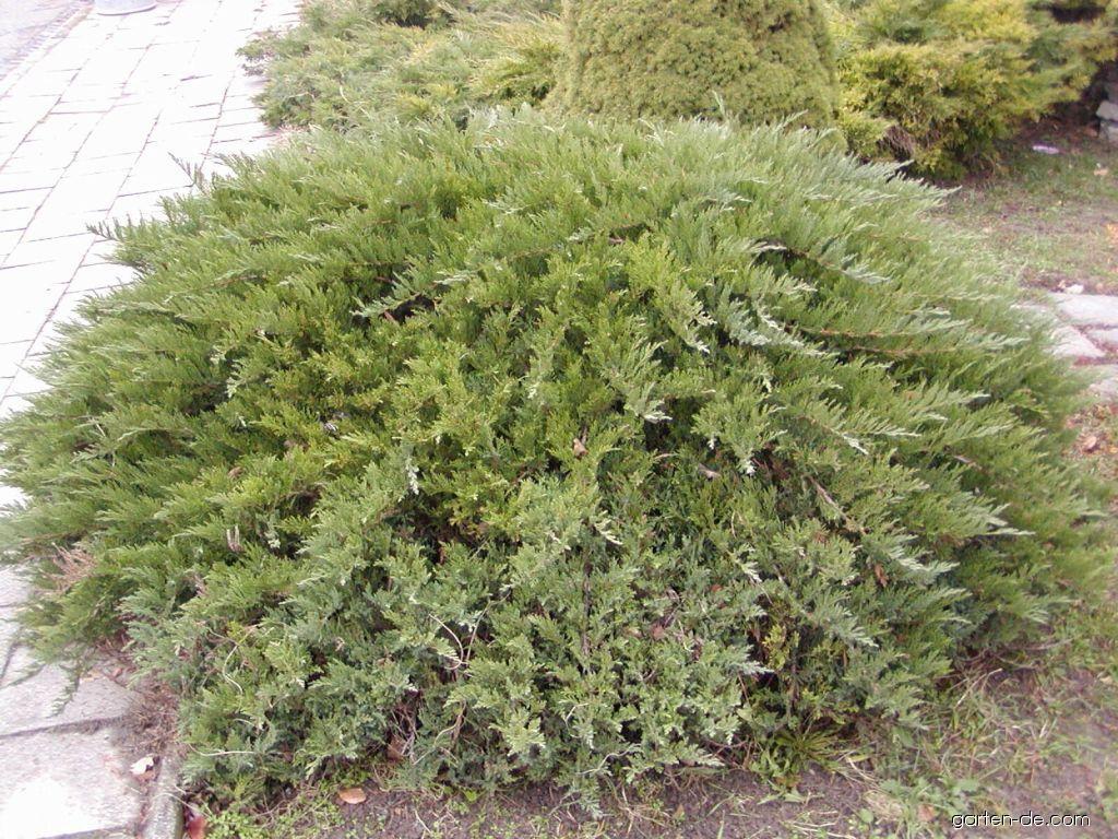 Tamariskenwacholder - Juniperus sabina Tamariscifolia