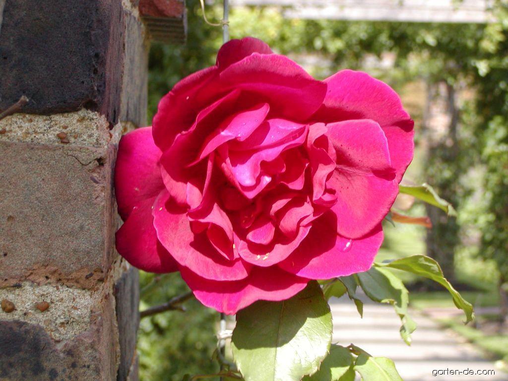 rose rosa etoile de hollande garten. Black Bedroom Furniture Sets. Home Design Ideas