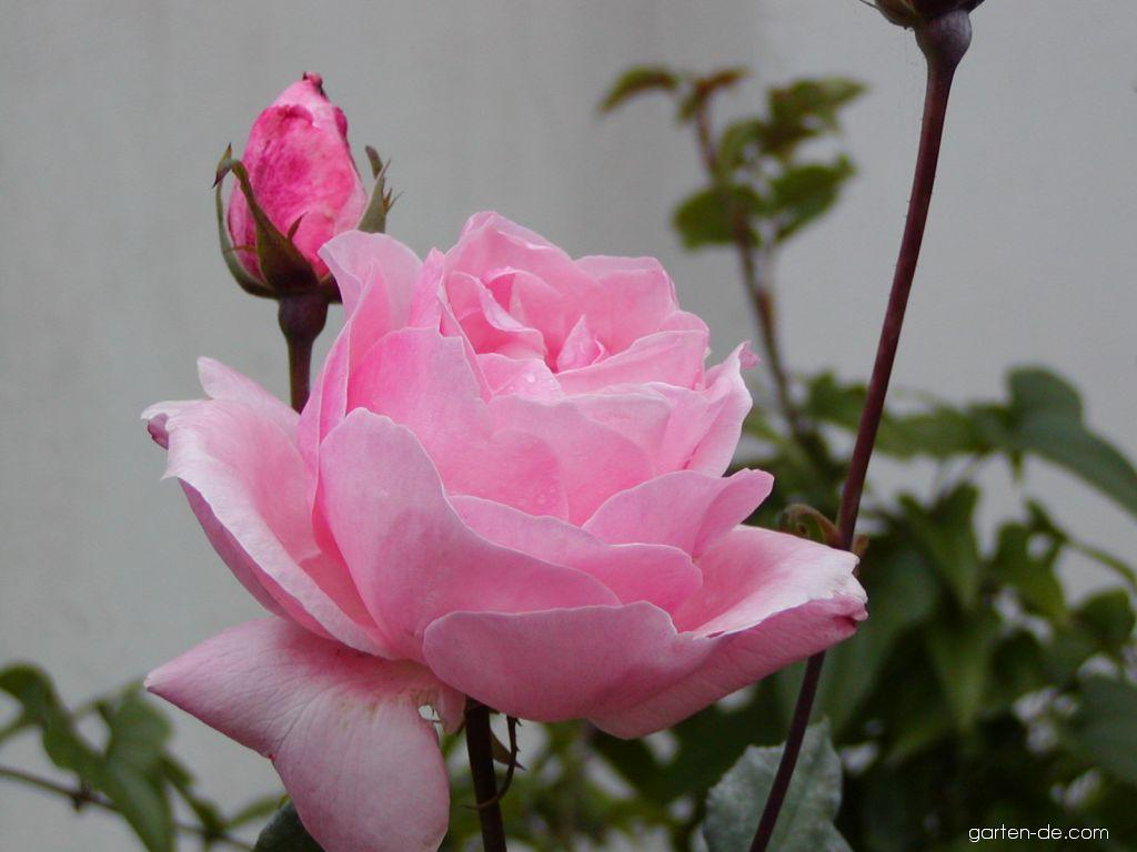 Rose - Rosa Queen Elizabeth
