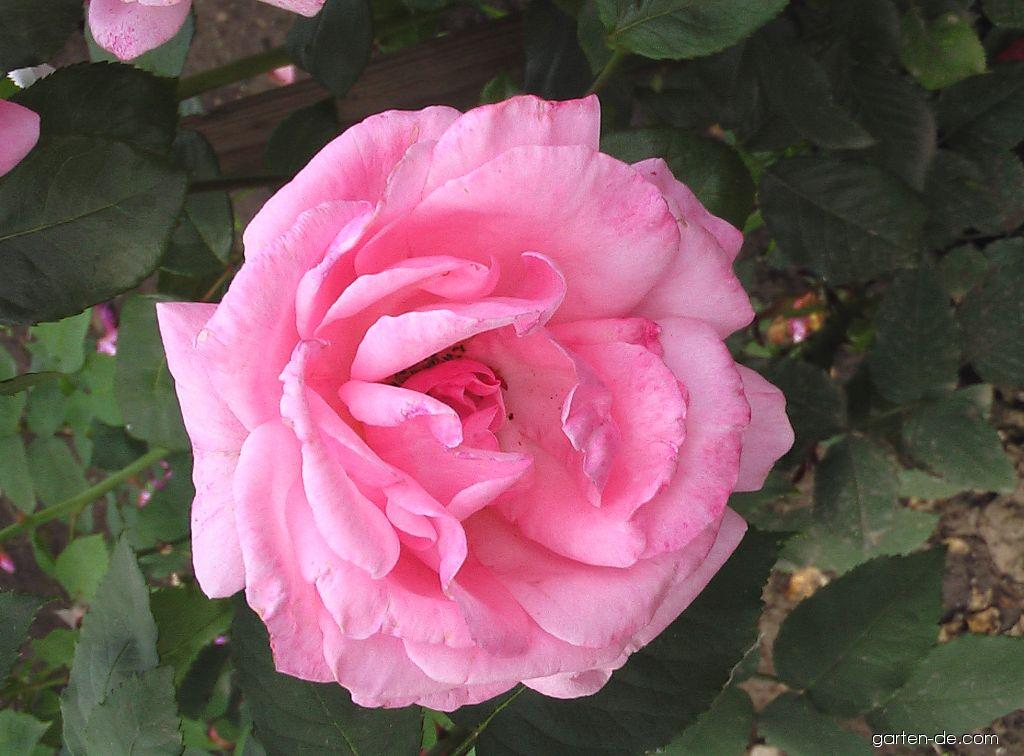 Rosa Queen Elizabeth (Rose)
