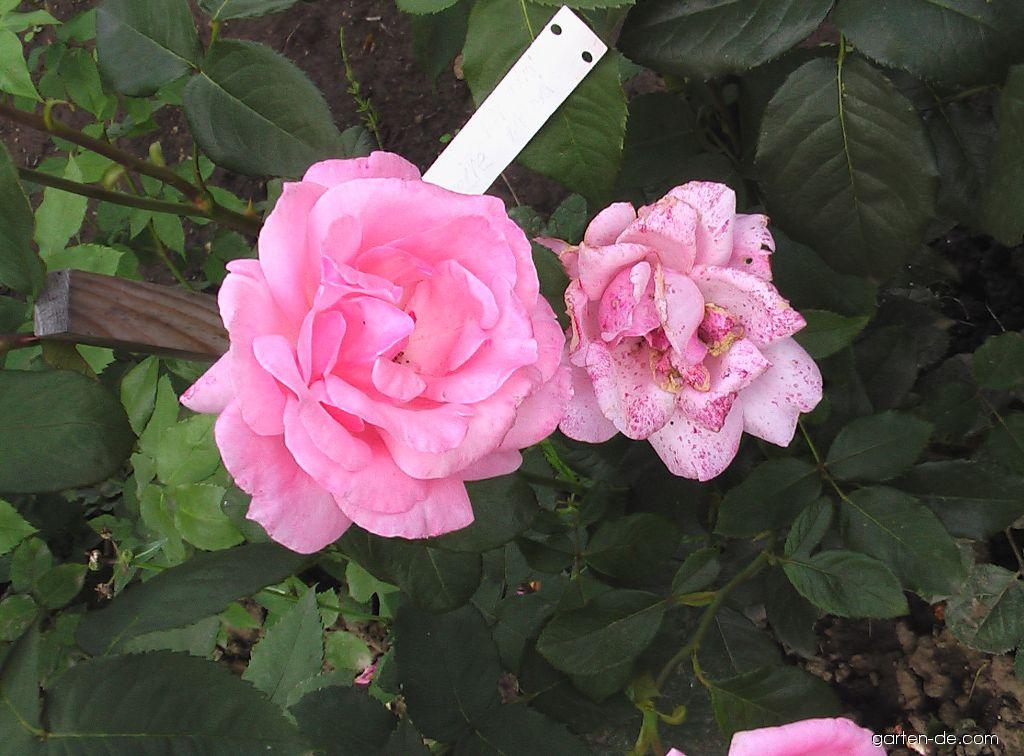 Rose - Rosa Queen Elizabeth