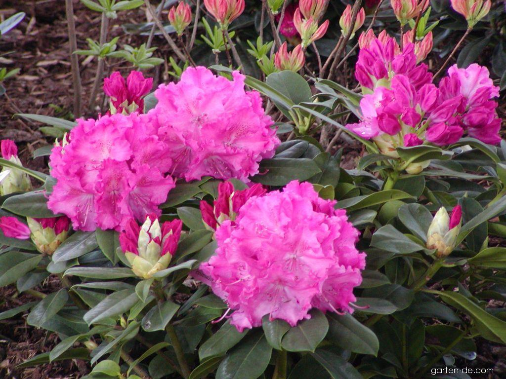 Rhododendron, Alpenrose - Rhododendron Germania