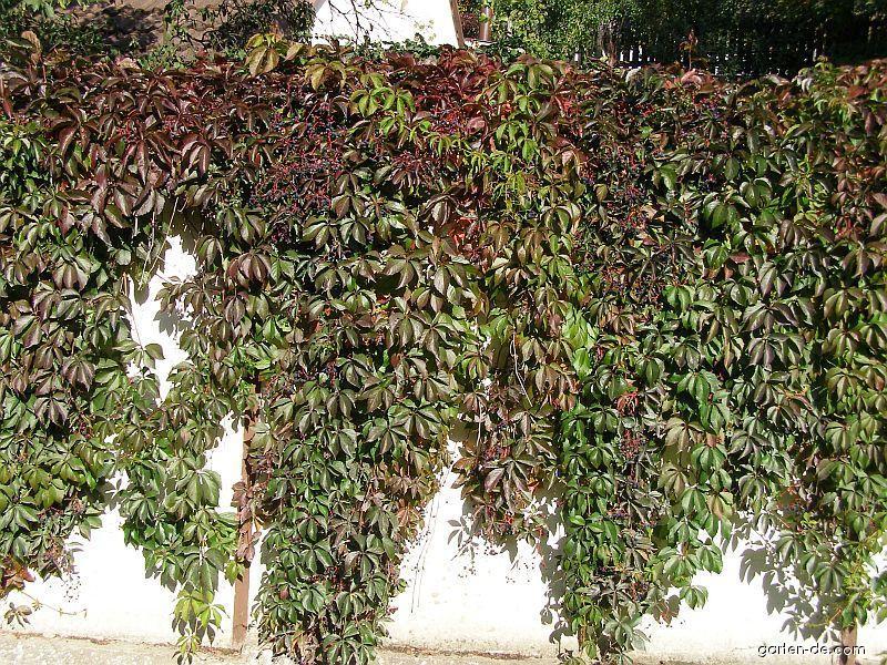 Fünfblättrige Zaunrebe, Wilder Wein - Parthenocissus quinquefolia
