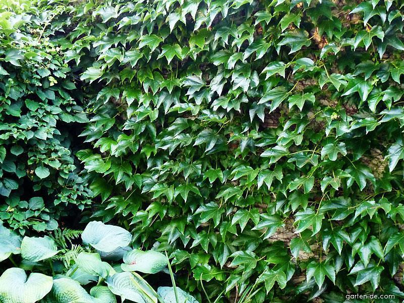 Dreilappige Zaunrebe, Mauerkatze - Parthenocissus tricuspidata