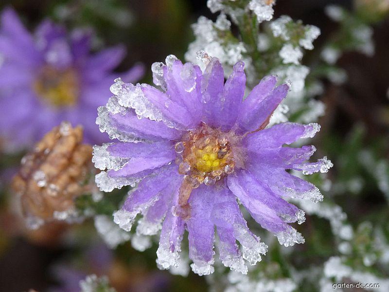 Hvězdnice hustokvětá - jinovatka (Aster dumosus)