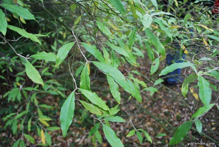 Hlošina okoličnatá - listy (Elaeagnus umbellata)