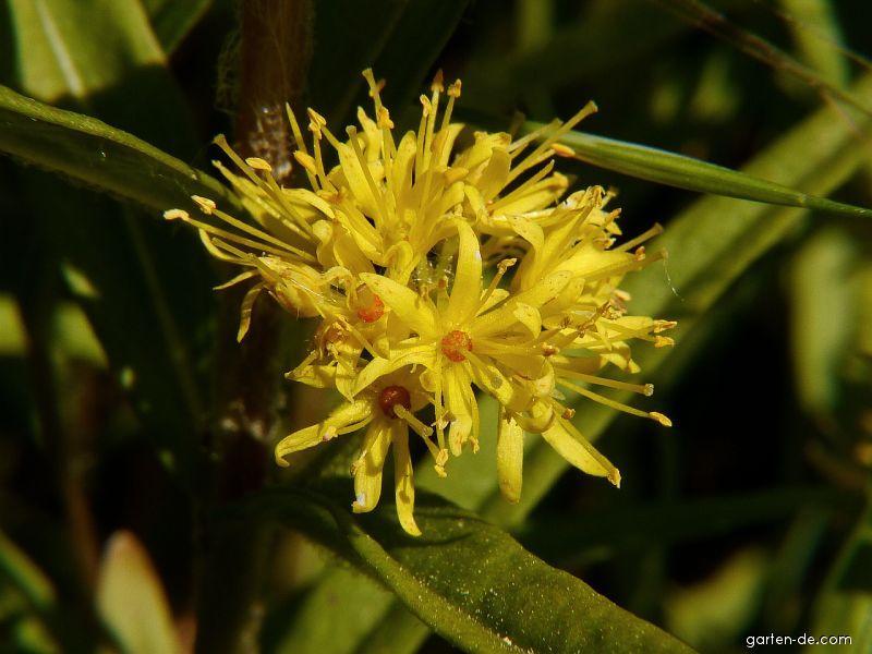 Bazanovec kytkovitý (Naumburgia thyrsiflora)
