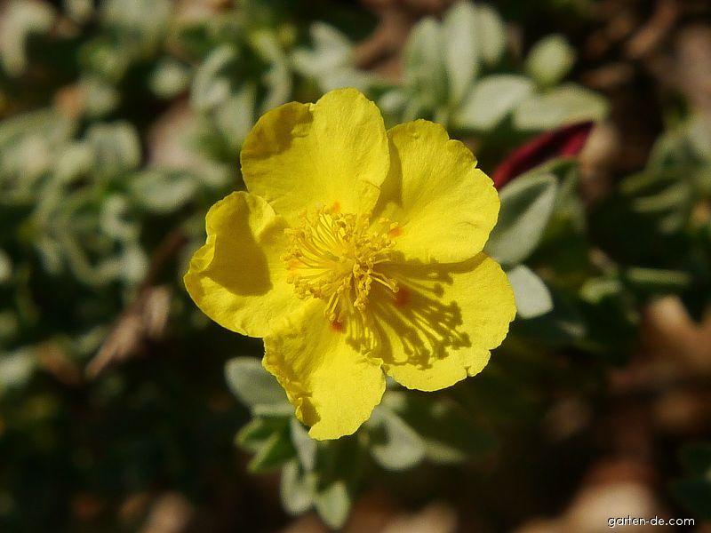 Devaterník půlměsíčitý (Helianthemum lunulatum)